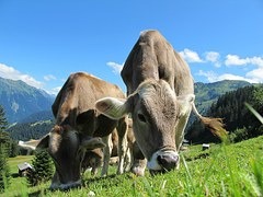cows-cow-203460__180